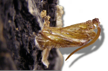 An Ash Borer pupal skin sticking out of a tree