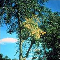 An elm tree during the summer with yellow leaves
