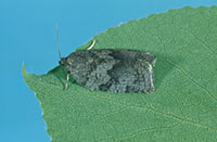 An adult Large Aspen Tortrix at rest on a leaf