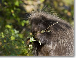 A porcupine eating a twig