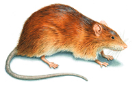 An illustration of a Norway Rat
