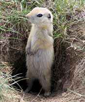 A Richardson Ground squirrel outside a tunnel