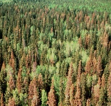 Spruce Beetle Infestation.JPG
