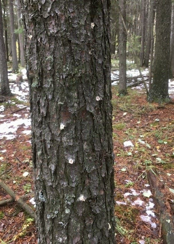 Tree Mountain Pine Beetle